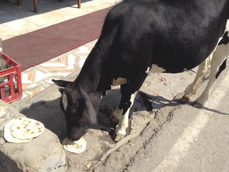 牛も大好きチャパティ
