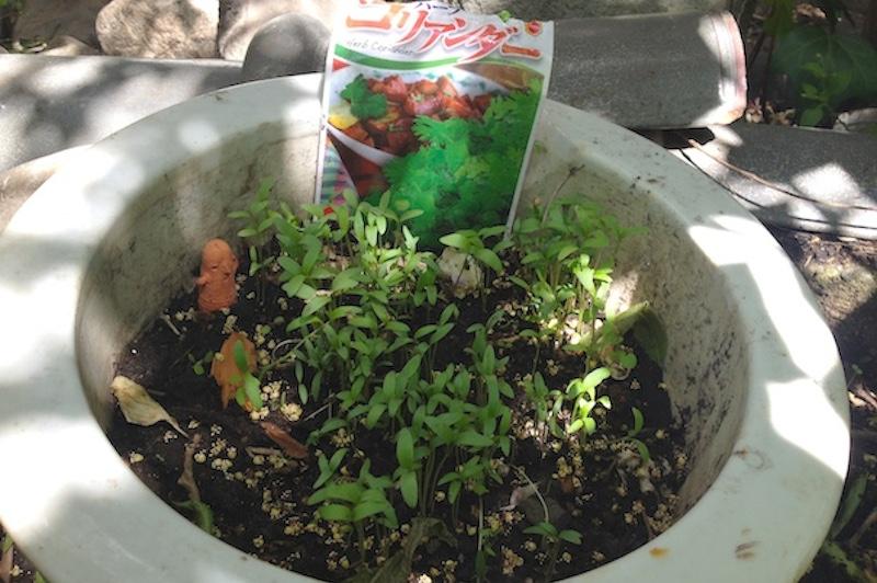 パクチー栽培