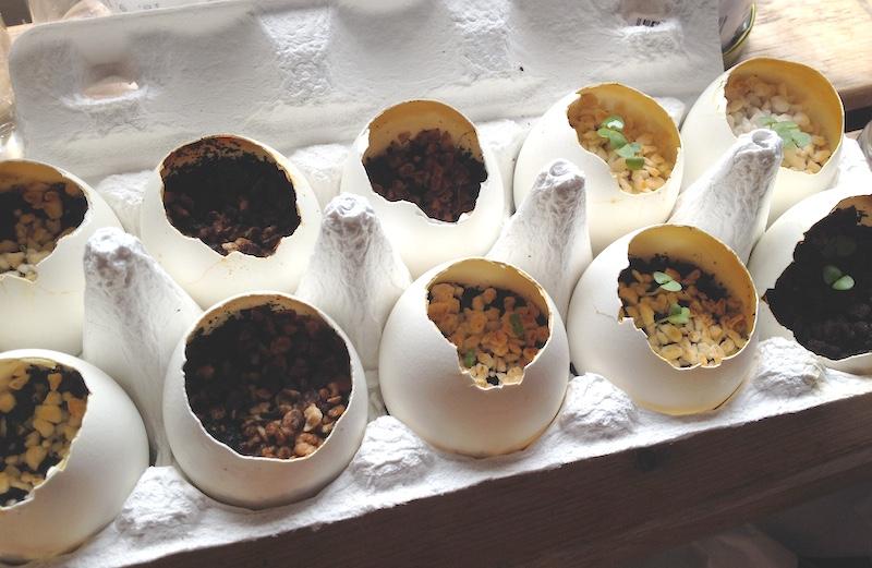 卵の殻でハーブを育てる