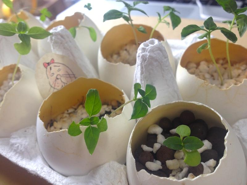 バジルとレモンバームとイタリアンパセリ栽培記録