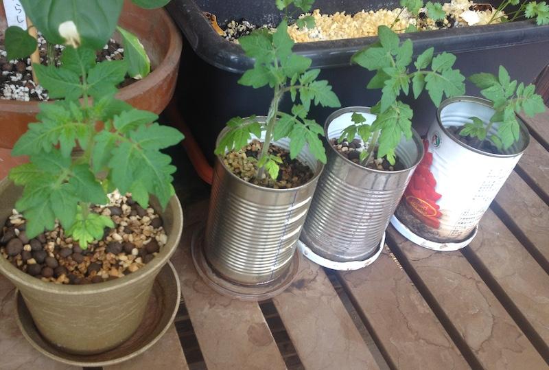 レジナを栽培