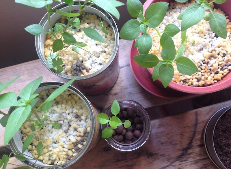 バジルとイタリアンパセリ栽培