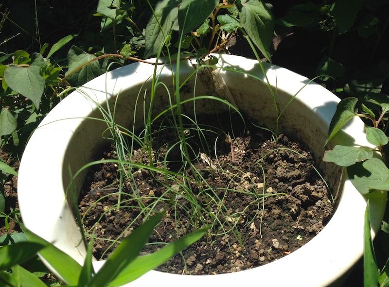 スピーディベジタブルのねぎ栽培