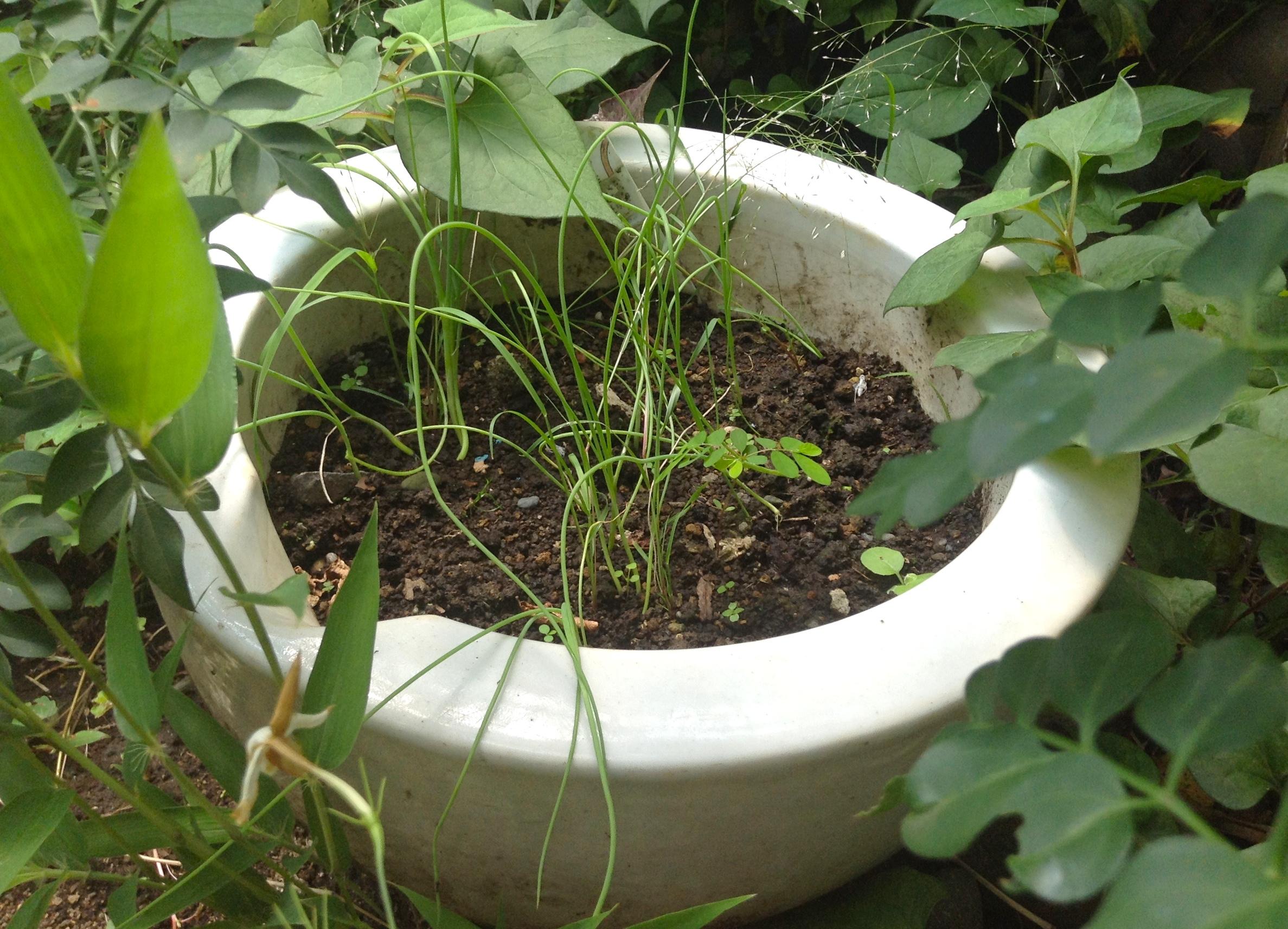 かおりネギ栽培