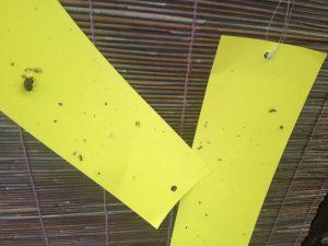 黄色い虫取りシート