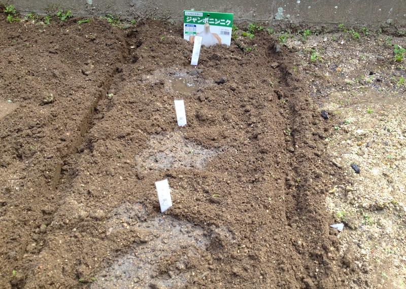 ジャンボにんにく植えた