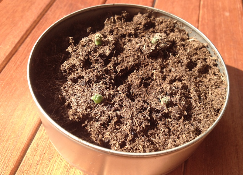 種からサボテン栽培記録