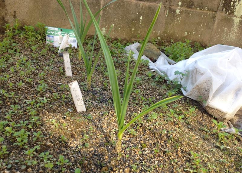 ジャンボにんにく栽培記録
