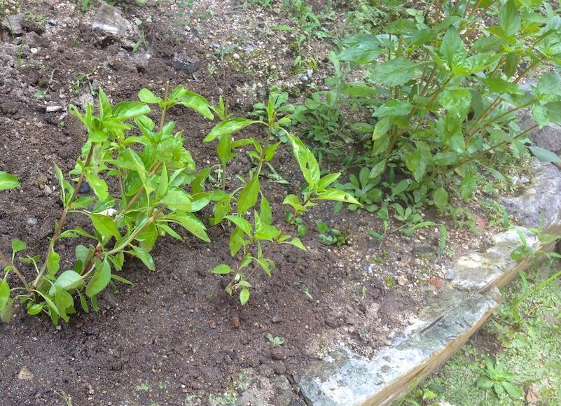 ホラパー栽培