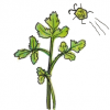 【パクチーの育て方】パクチー栽培のポイントは徒長させない事です