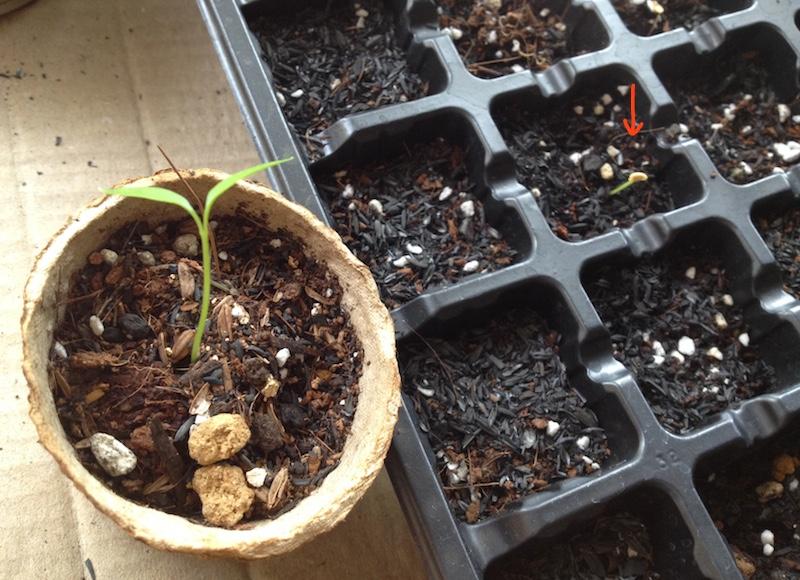 韓国唐辛子の栽培